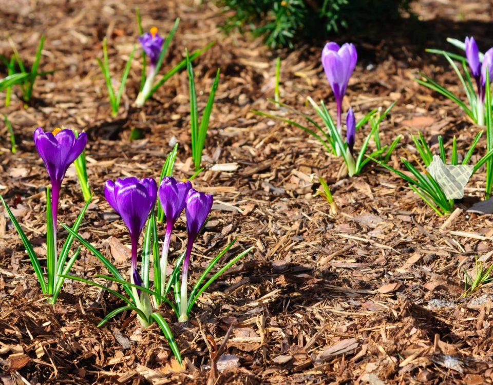 Plantes violettes Esnault Paysagiste à Saumur